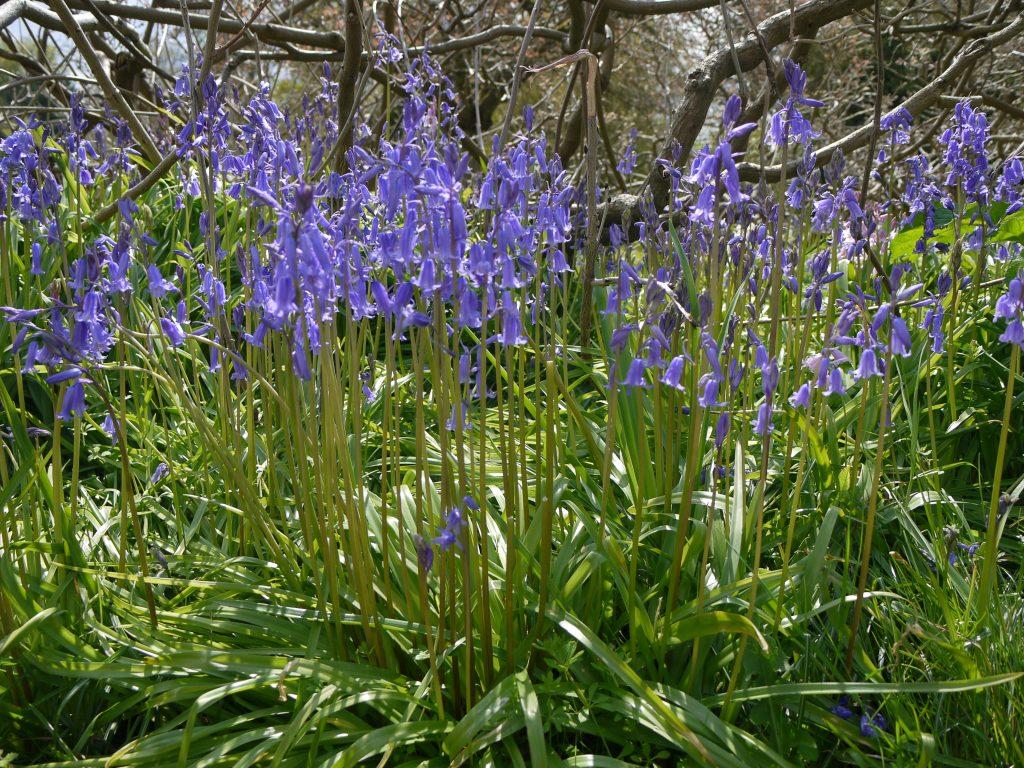 bluebells at Cliveden